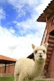 Filhote de cachorro da alpaca Fotos de Stock Royalty Free