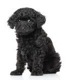 Filhote de cachorro da caniche imagem de stock royalty free