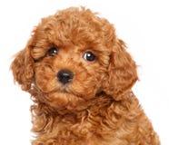 Filhote de cachorro da caniche de brinquedo em um fundo branco Foto de Stock
