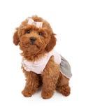 Filhote de cachorro da caniche que desgasta o equipamento cor-de-rosa Foto de Stock