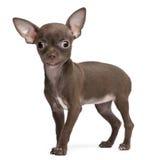 Filhote de cachorro da chihuahua, 10 semanas velho, posição Foto de Stock