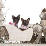 Filhote de cachorro da chihuahua, 12 semanas velho, chineses Crested Fotografia de Stock Royalty Free