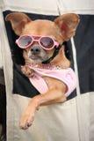 Filhote de cachorro da chihuahua Fotografia de Stock