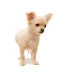 Filhote de cachorro da chihuahua Imagem de Stock Royalty Free
