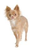 Filhote de cachorro da chihuahua Foto de Stock
