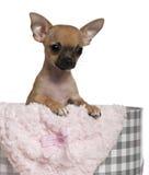 Filhote de cachorro da chihuahua, 3 meses de olds Fotografia de Stock