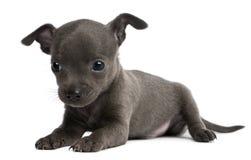 Filhote de cachorro da chihuahua, 6 semanas velho, encontrando-se Imagem de Stock