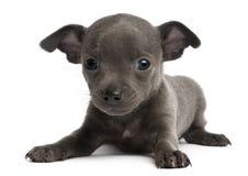 Filhote de cachorro da chihuahua, 6 semanas velho, encontrando-se Fotografia de Stock Royalty Free