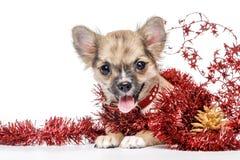 Filhote de cachorro da chihuahua cercado pelo ouropel vermelho do Natal Imagens de Stock