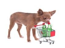 Filhote de cachorro da chihuahua com carro de compra Foto de Stock Royalty Free