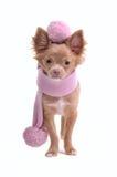 Filhote de cachorro da chihuahua com lenço e a boina cor-de-rosa Imagens de Stock