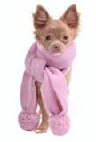 Filhote de cachorro da chihuahua com o lenço cor-de-rosa glamoroso Fotos de Stock Royalty Free