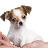 Filhote de cachorro da chihuahua em uma mão (3 traças) Imagens de Stock
