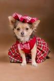 Filhote de cachorro da chihuahua que desgasta o vestido e o tampão vermelhos Fotos de Stock