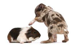 Filhote de cachorro da chihuahua que interage com uma cobaia Foto de Stock