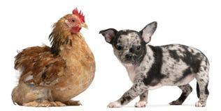 Filhote de cachorro da chihuahua que interage com uma galinha Fotografia de Stock