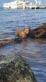 Filhote de cachorro da natação imagem de stock