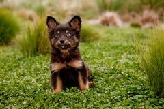 Filhote de cachorro da raça da mistura Fotos de Stock Royalty Free