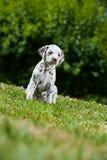 Filhote de cachorro Dalmatian Fotografia de Stock Royalty Free