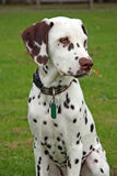 Filhote de cachorro Dalmatian Fotos de Stock