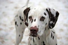 Filhote de cachorro Dalmatian Imagem de Stock