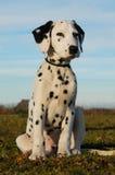 Filhote de cachorro Dalmatian Fotos de Stock Royalty Free