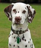 Filhote de cachorro Dalmatian imagens de stock