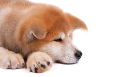 Filhote de cachorro de Akita-inu Fotos de Stock Royalty Free