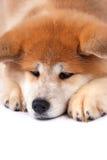 Filhote de cachorro de Akita-inu Fotos de Stock