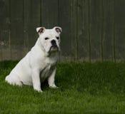 Filhote de cachorro de assento Imagens de Stock Royalty Free
