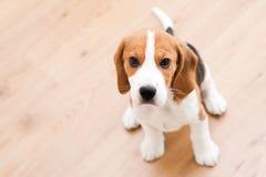 Filhote de cachorro de assento do lebreiro Fotografia de Stock
