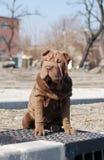 Filhote de cachorro de assento do sharpei fotografia de stock