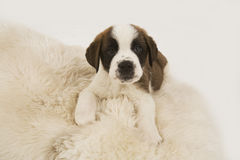 Filhote de cachorro de Bernard de Saint Imagem de Stock Royalty Free