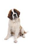 Filhote de cachorro de Bernard de Saint que senta-se para baixo com a cabeça inclinada Foto de Stock