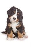 Filhote de cachorro de Bernese Imagem de Stock Royalty Free