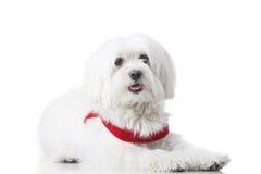 Filhote de cachorro de Bichon Foto de Stock