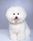 Filhote de cachorro de Bichon Frise Imagens de Stock Royalty Free