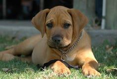 Filhote de cachorro de Boerboel Imagem de Stock