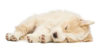 Filhote de cachorro de border collie, 6 semanas velho, encontrando-se e dormindo Imagens de Stock
