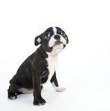 Filhote de cachorro de Boston Terrier fotografia de stock