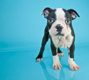 Filhote de cachorro de Boston Terrier fotos de stock royalty free