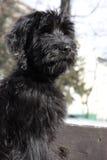 Filhote de cachorro de Briard Fotografia de Stock Royalty Free
