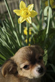 Filhote de cachorro de Brown em um potenciômetro de flor Imagens de Stock