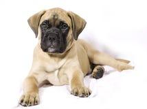 Filhote de cachorro de Bullmastif Fotos de Stock Royalty Free