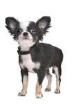 Filhote de cachorro de cabelos compridos da chihuahua Imagens de Stock