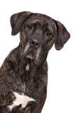 Filhote de cachorro de cabelos curtos da chihuahua Imagem de Stock Royalty Free