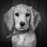 Filhote de cachorro de cocker spaniel fotografia de stock
