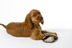 Filhote de cachorro de cocker spaniel Imagens de Stock