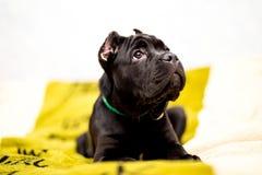 Filhote de cachorro de Corso do bastão Imagem de Stock Royalty Free