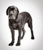 Filhote de cachorro de Corso do bastão em um fundo branco Fotos de Stock